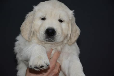 golden retriever puppies in scotland golden retriever puppies scotland dogs our friends photo