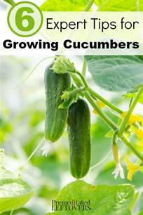 6 expert tips for growing cucumbers