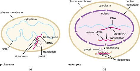 where in a eukaryotic cell does translation occur 11 4 protein synthesis translation biology libretexts