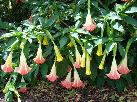 angel trumpet plants the neurocritic a dangerous new dish