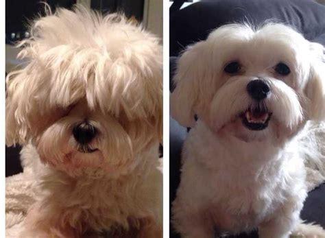 type of dog haircuts 15 photos de chiens avant apr 232 s leur toilettage