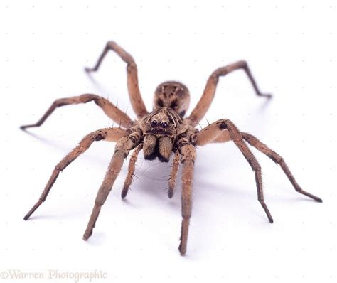 wolf spider images 18062 australian wolf spider white background jpg 1249