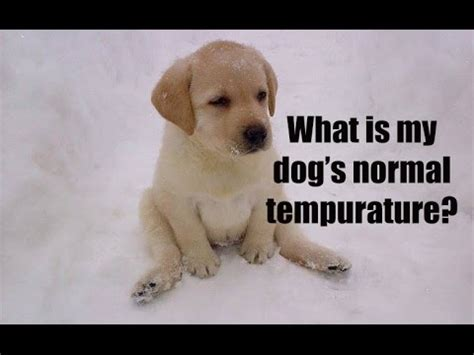 normal temperature for dogs how to check temperature on lazypaw animal hospitals doovi