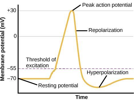 repolarization and depolarization | www.pixshark.com