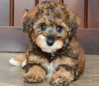 schnoodle puppies ohio schnoodle puppies by design
