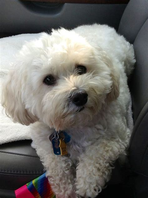poodle mix dog hair cut the 25 best maltipoo haircuts ideas on pinterest