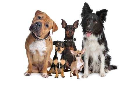most obedient dogs top obedient breeds the bully breeds