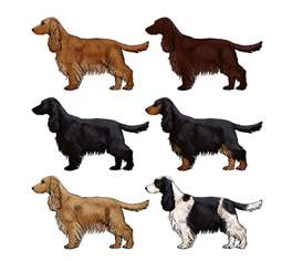 cocker spaniel colors how to draw a details make the difference
