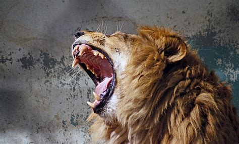 gambar margasatwa potret binatang menyusui rambut kuda predator raut wajah singa kucing