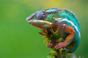 lizards that change color panther chameleon facts habitat diet cycle baby