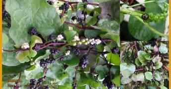 Obat Herbal Sakit Uci Uci radang usus buntu tanaman ini obatnya