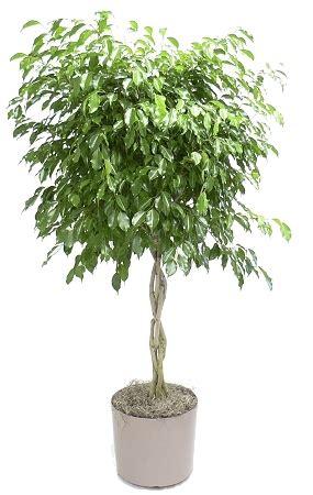 10 dracaena marginata braid 15 95 z plants the best 10 dracaena marginata braid 15 95 z plants the best