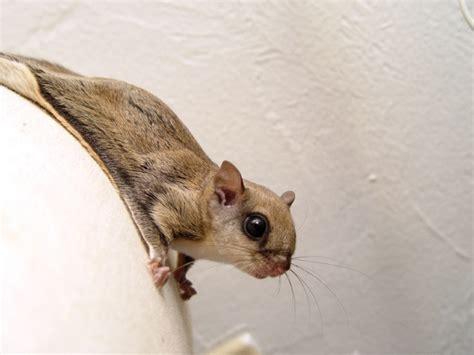 72 best flying squirrels images on pinterest squirrels flying squirrel and red squirrel