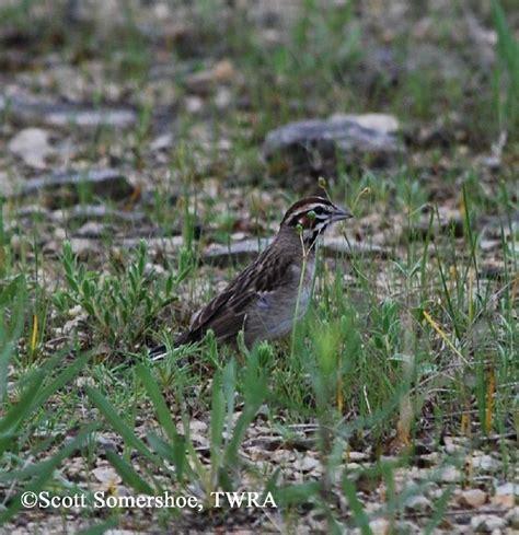 tennessee watchable wildlife lark sparrow habitat