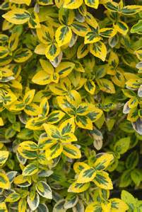 Yellow Foliage Plants - euonymus fortunei mor gold plant amp flower stock photography gardenphotos com