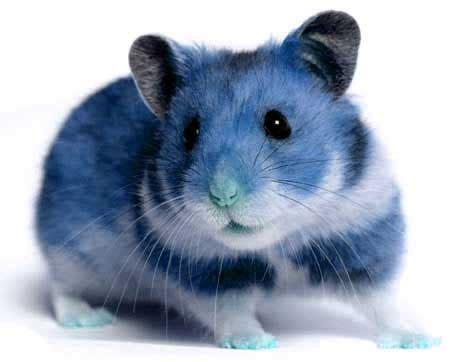 blue hamster fificutiecookie profile loopiz mini website