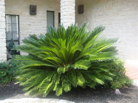 sago palm dogs plants which are toxic poisonous to cats going evergreen