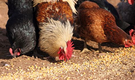ate chicken gmo corn chicken feed may make it to avoid consuming gmo genetic material top