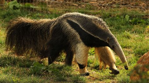 giant anteater animals yorkshire wildlife park