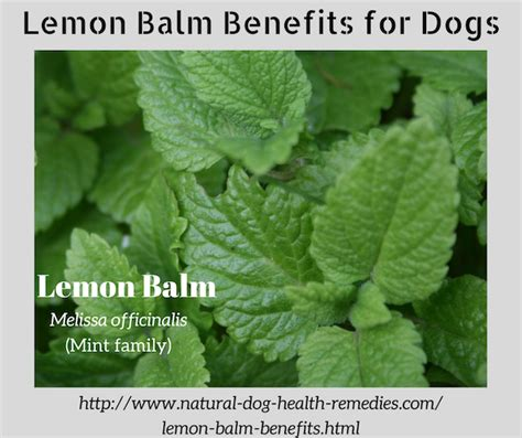 is lemon bad for dogs lemon balm benefits for dogs safe herbs for dogs