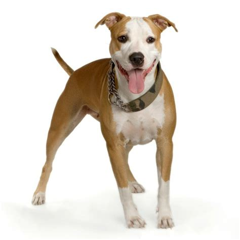 Pit Bull Breeds Also Search For Pit Bull Breed Information And Photos Thriftyfun