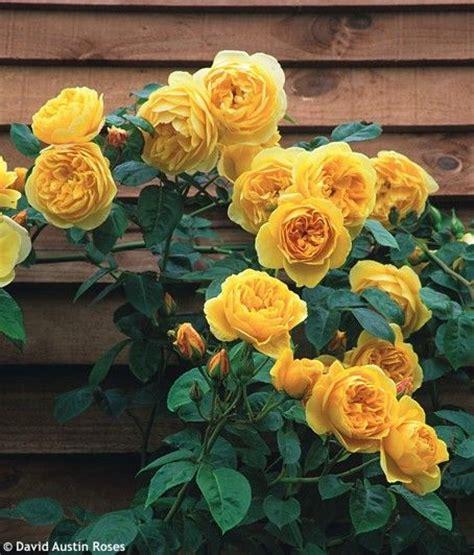 climbing rose tattoo 25 best ideas about vine tattoos on