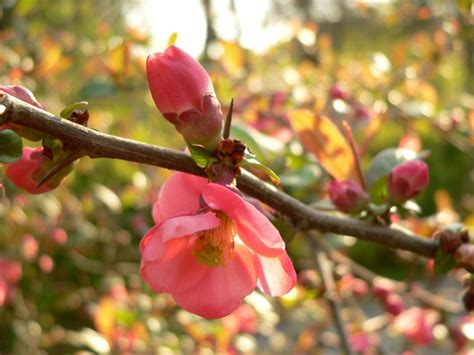 new year flower quince flowering quince chaenomeles speciosa