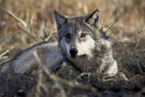 wolf s wolf wolves photo 32863731 fanpop
