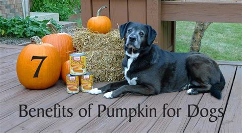 canned pumpkin for dogs 7 benefits of pumpkin for dogs chasing tales