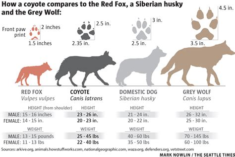how big is a coyotes become a fact of life in rural and urban areas around seattle the seattle times