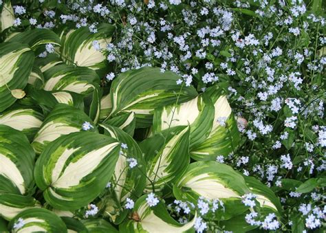hosta plant gallery