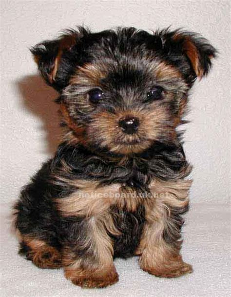tea cup yorki teacup yorkie gains big win in court battle paw prints