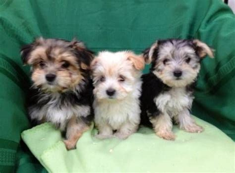 morkie yorkie best 25 morkie puppies ideas on small puppies puppies and puppies