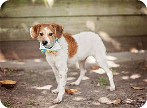 beagle puppies seattle jerry so and sweet adopted puppy seattle wa beagle mix