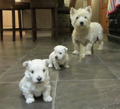 west highland terrier puppies west highland terriers for sale picture and images