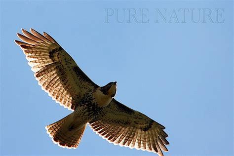 Dekker Fox Standar White Hawk Tanduk flying hawk