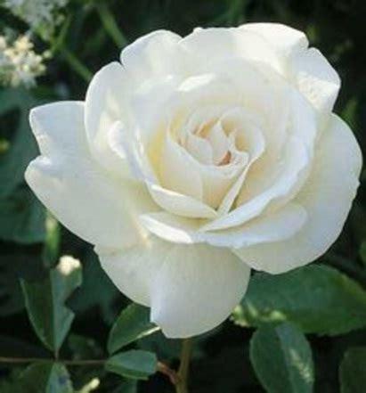 Biji Bunga Mawar Brown White tanaman mawar putih white jual tanaman hias
