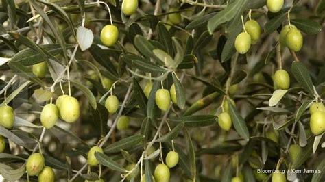 Bibit Zaitun Tin peluang bertanam bibit pohon zaitun masih terbuka