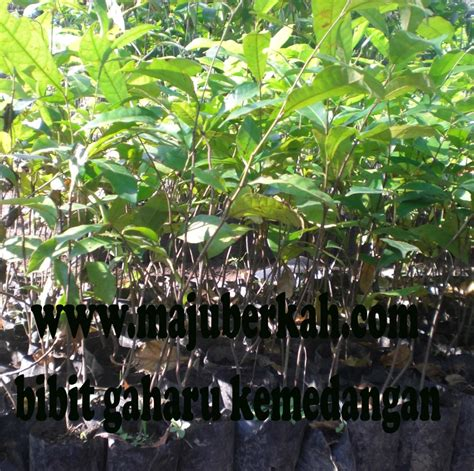 Benih Alpukat Mentega biji tanaman rempah rempah i jual biji tanaman rempah rempah
