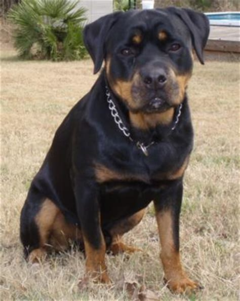 tough boy names for rottweilers socialization for my rottweiler a of rottweilers