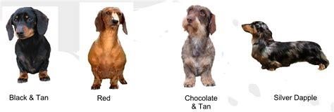 dachshund colors buying a dachshund the dachshund breed council uk