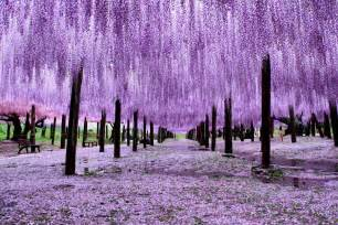 wisteria in japan 10 reasons you should drop everything and go to japan s wisteria festival asap bored panda
