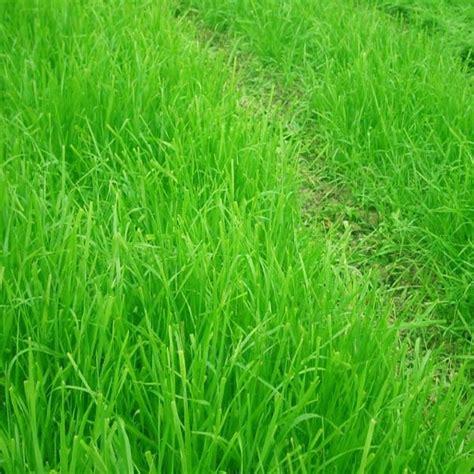 10000pcs tall fescue grass seeds garden ideal lawn us 2 40