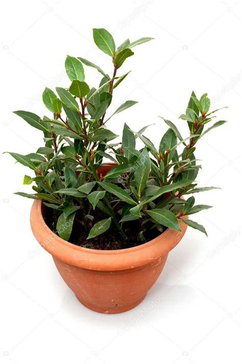 pianta di alloro in vaso alloro pianta in vaso foto stock 169 dianazh 28644285