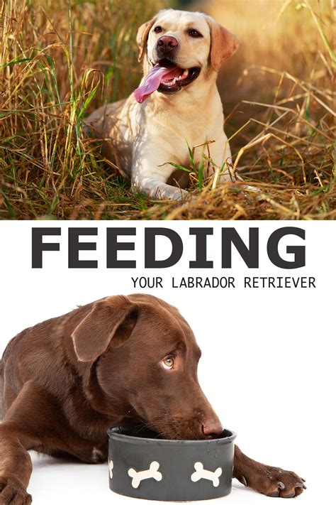feeding your labrador puppy chart labradors and dog how to feed a labrador a complete guide