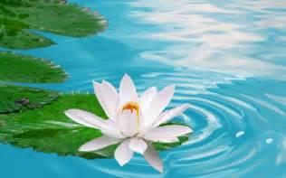 Wallpaper Lotus Flower Design Lotus Flowers Wallpapers Hd Pictures One Hd Wallpaper