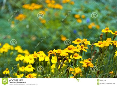 imagenes flores maravillas macizo de flores de maravillas fotos de archivo libres de