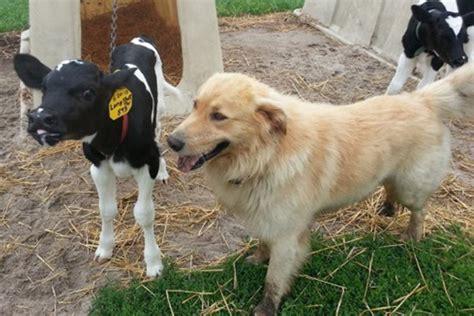 puppy farms farm winners drink milk winners drink milk