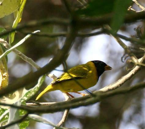 uccelli esotici da gabbia uccelli da gabbia linurgo olivaceo