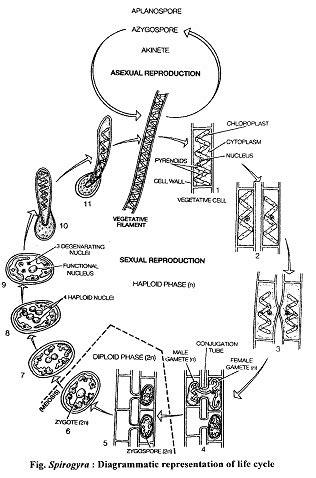 spirogyra reproduction diagram spirogyra cycle diagram www pixshark images